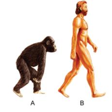 Selina Solutions Icse Class 10 Biology Chapter - Human Evolution