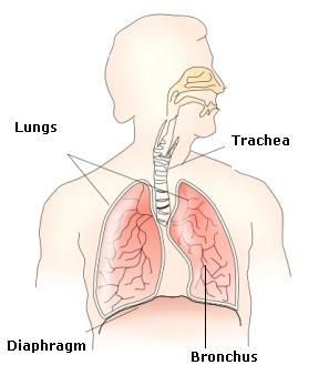(a) draw neat diagram of respiratory system and label the following parts