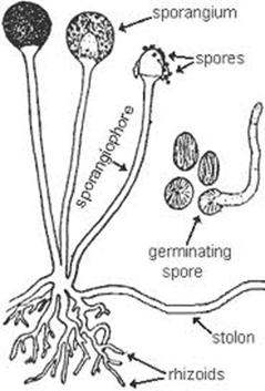 a with the help of diagram show asexual reproduction in rhizopus b