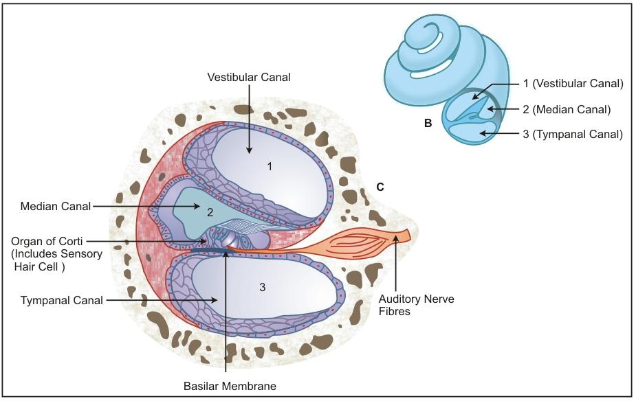 Explain The Structure Of Cochlea With The Help Of A