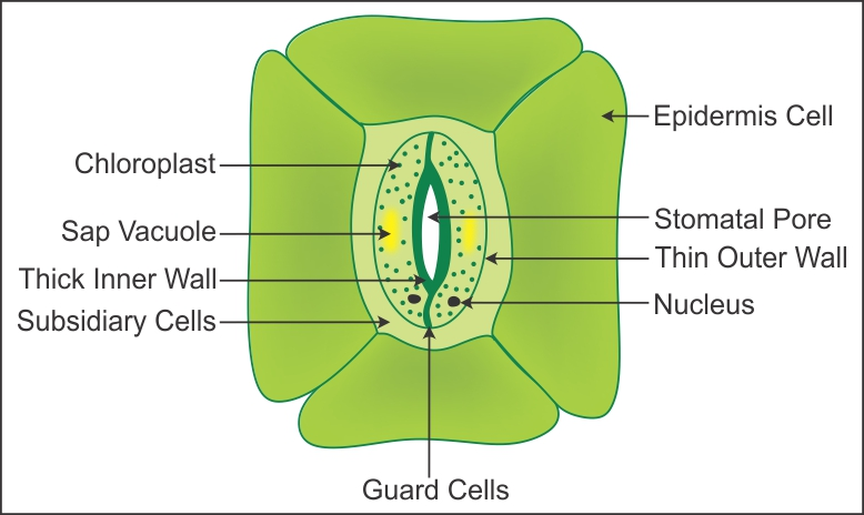 a draw a labeled diagram of stomata write any two ...