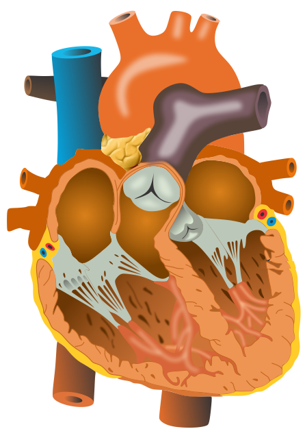 Draw A Well Labelled Diagram Of Human Heart For Icse Class 6 Biology