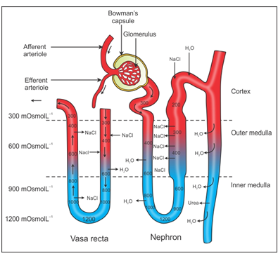 Ncert Solutions Cbse Class 11-science Biology Chapter - Excretory Products And Their Elimination