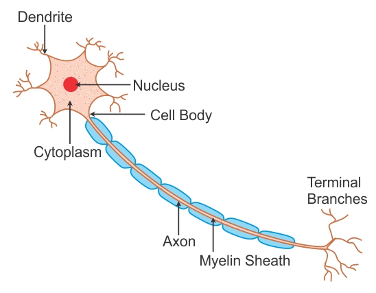 Groovy Labeled Diagram Of Nerve Cell Wwudaicc Biology Topperlearning Com Wiring 101 Orsalhahutechinfo