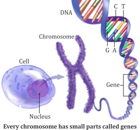 Where exactly is gene present on dna or on chromosome plz explain where exactly is gene present on dna or on chromosome plz explain alongwith diagram and plzz explain in detail what is actually chromosomal theory of ccuart Image collections