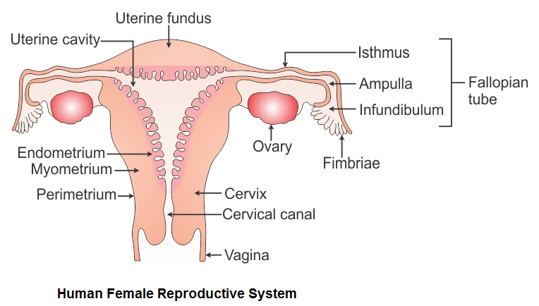 Ncert Solutions Cbse Class 12-science Biology Chapter - Human Reproduction