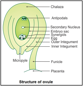 Ncert Solutions Cbse Class 12-science Biology Chapter - Sexual Reproduction In Flowering Plants