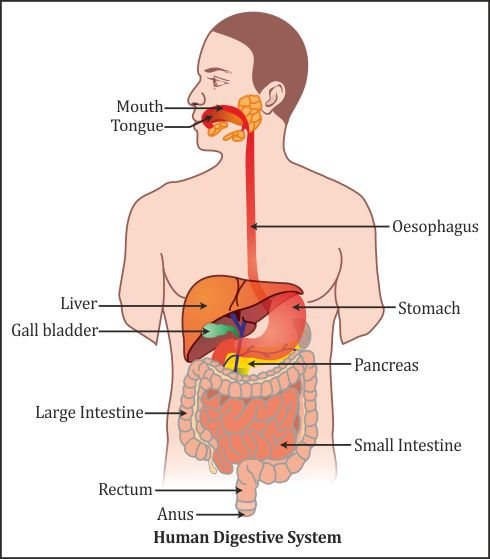 Draw A Neat Diagram Of Respiratory System In Humans And Label The