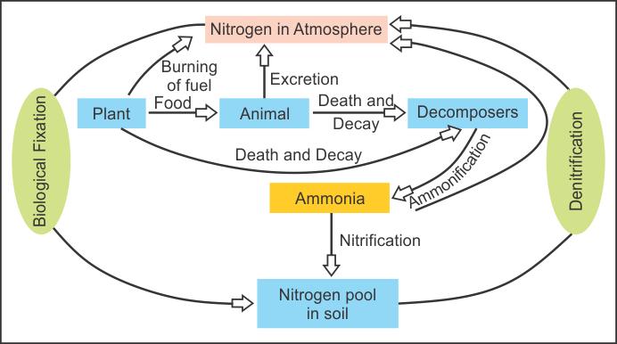 Nitrogen Cycle - Biology