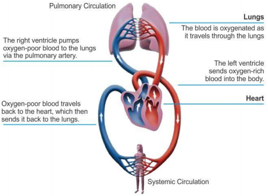 Explain how deoxygenated blood travel from body to lung for answer this question ccuart Gallery