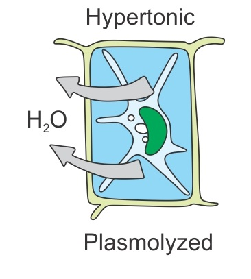 when plasmolysis occurs the - Biology - TopperLearning com
