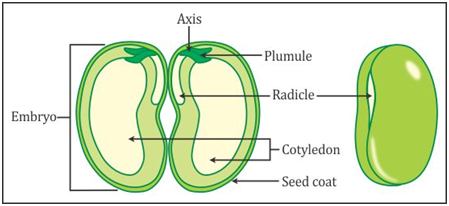 draw a neat and labelled diagram of structure of a seed