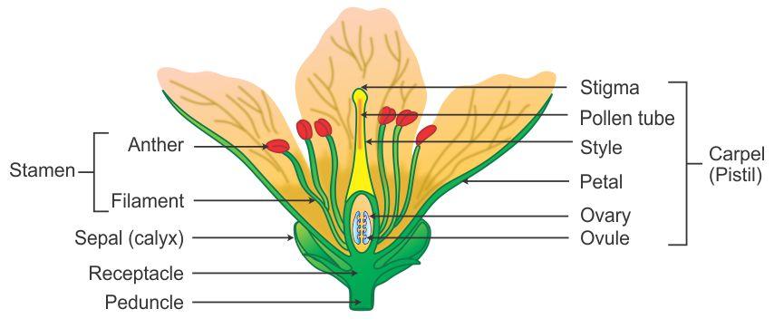Flower Diagram Labelled Wiring Diagram Yer
