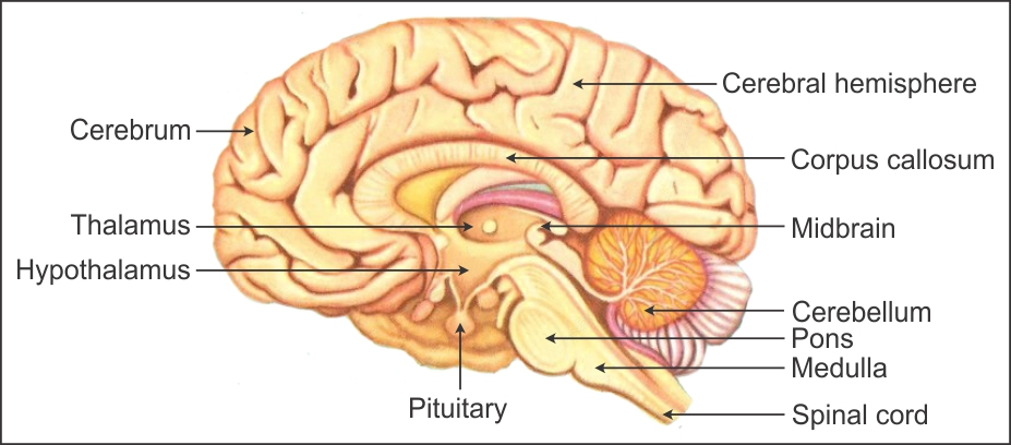 how does our brain work explain with a help of a diagram ...